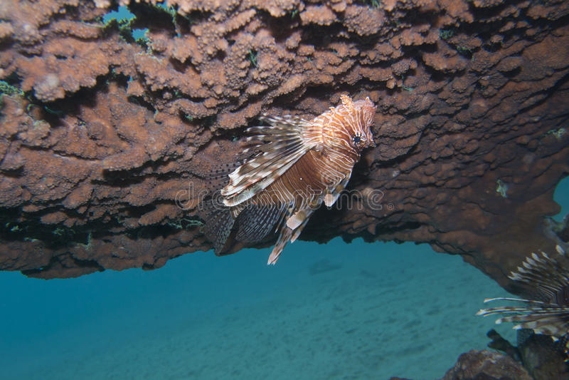 Volitans do Pterois, ou lionfish imagens de stock