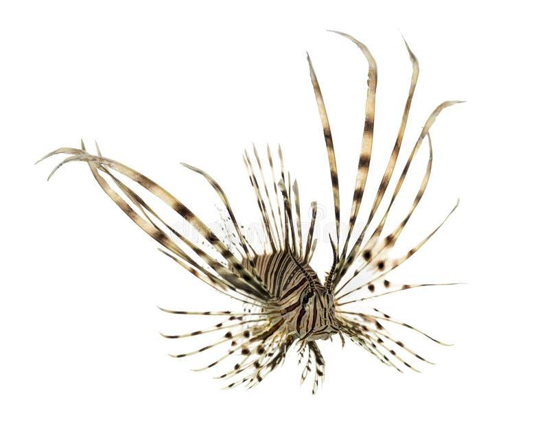 Volitans do Pterois ou natação vermelha do lionfish fotografia de stock royalty free