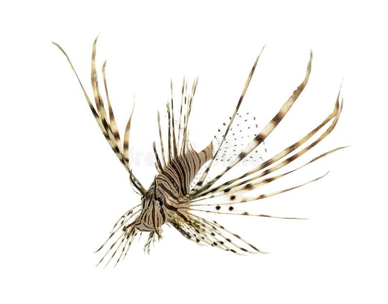 Volitans do Pterois ou natação vermelha do lionfish fotografia de stock