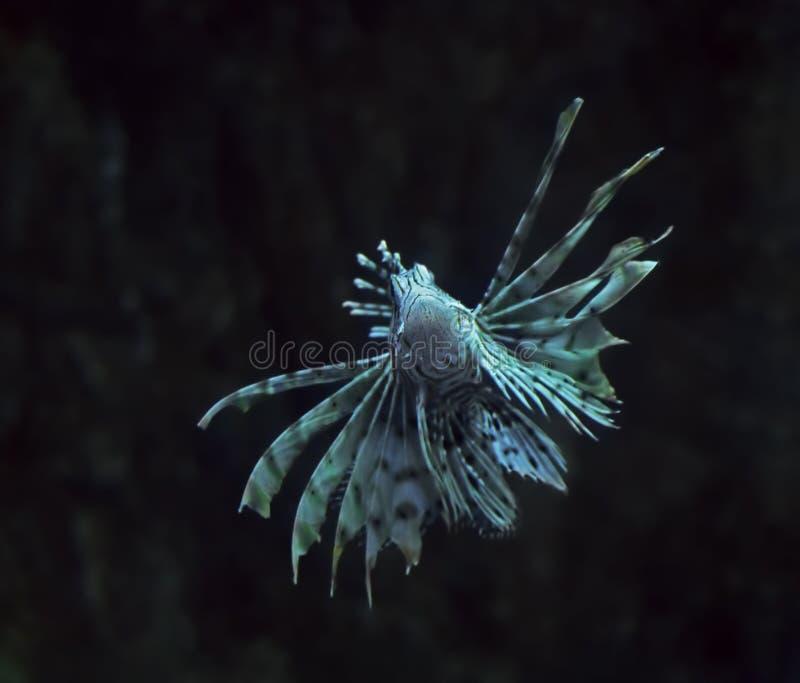 Volitans Pterois рыб голубые на конце глубины океана вверх поворачивая стоковые фотографии rf