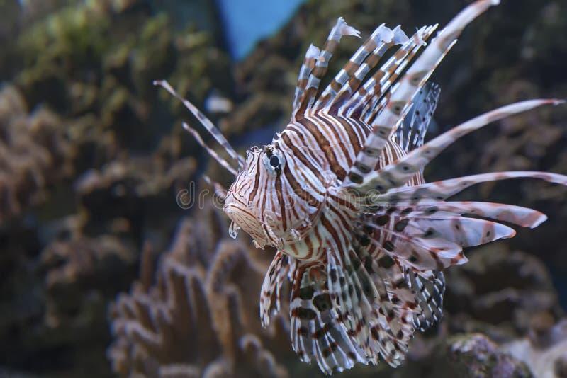 Volitans rossi del Pterois del Lionfish immagine stock