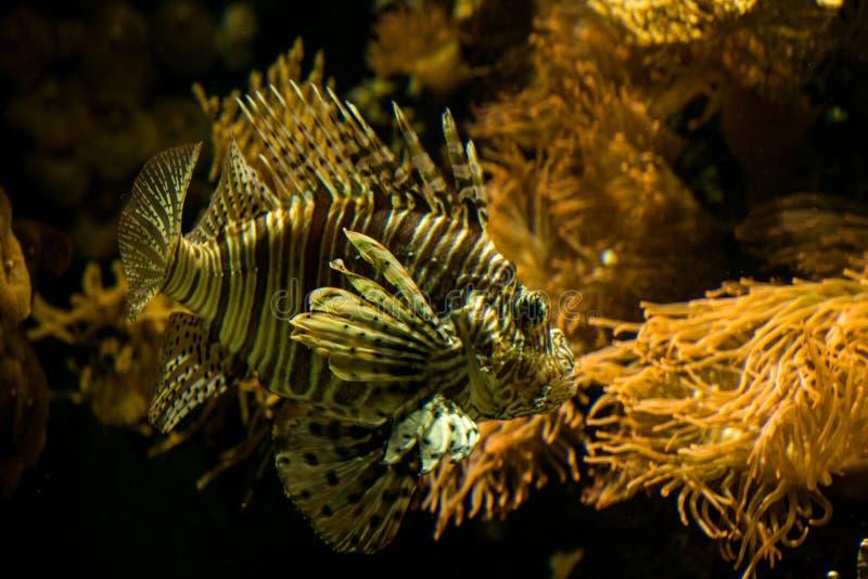 Volitans rouges de Pterois de lionfish, poissons venimeux de récif coralien, poissons de mer d'eau salée photos libres de droits