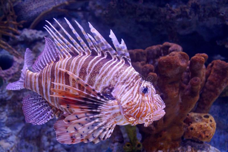 Volitans vermelhos do Pterois do Lionfish Volitans do Pterois Peixes vermelhos do aquário dos volitans do Pterois do lionfish fotografia de stock royalty free