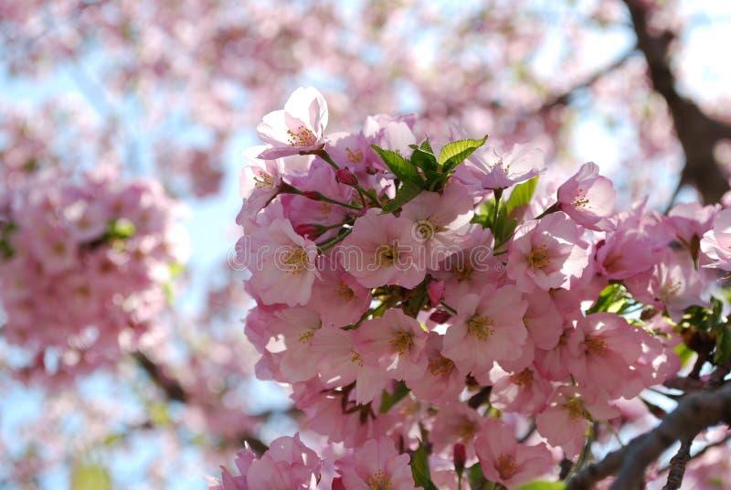 Volkomen Roze Cherry Blossoms in gelijkstroom royalty-vrije stock foto
