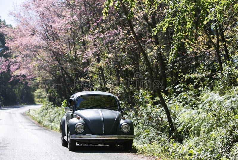 Volkswagen Beetle auf der Seitenstraße nahe Prunus cerasoides Baum lizenzfreie stockbilder