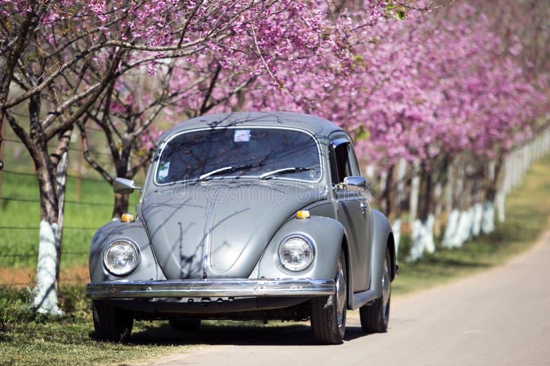 Volkswagen Beetle op de zijweg dichtbij prunus cerasoides boom stock afbeeldingen