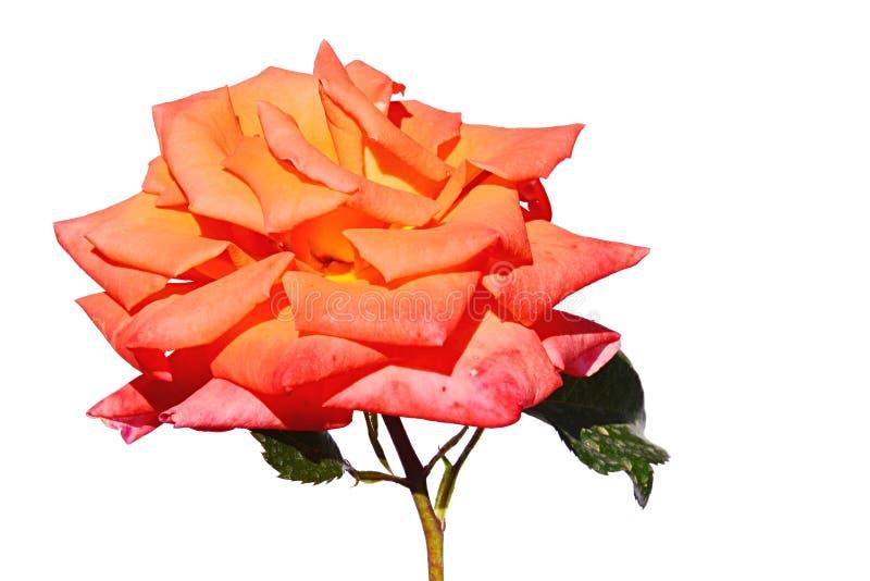 Voll blühende hellorangee Blume von rosafarbenem Goldelse, Tantau 1999 auf weißem Hintergrund, gezackte Rosenblätter sichtbar stockfotografie