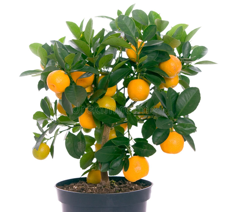 Voll vom kleinen Zitrusfruchtbaum lizenzfreies stockfoto