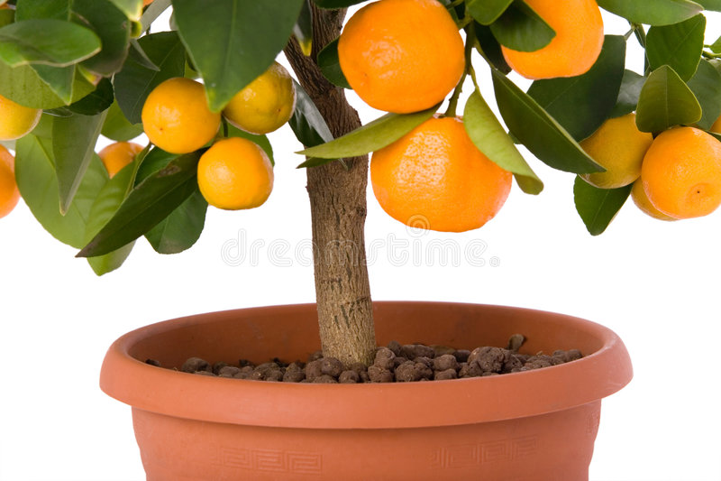 Voll vom kleinen Zitrusfruchtbaum lizenzfreie stockfotos
