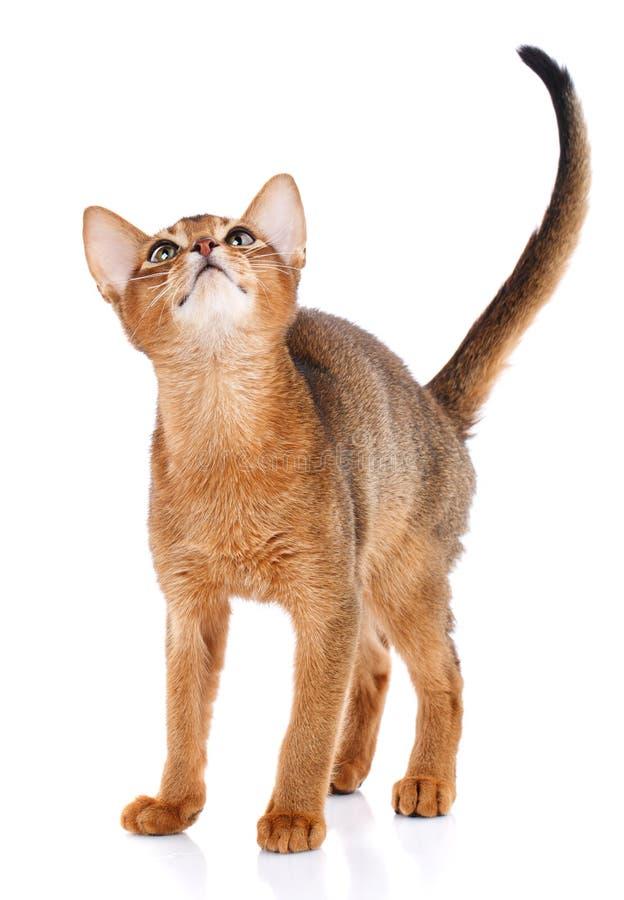 Vollblütige Katze Abysyn auf einem weißen Hintergrund Reinrassige Katze Gut-gepflegtes Kätzchen Haustier-, Komfort- und Ruhekonze lizenzfreie stockbilder