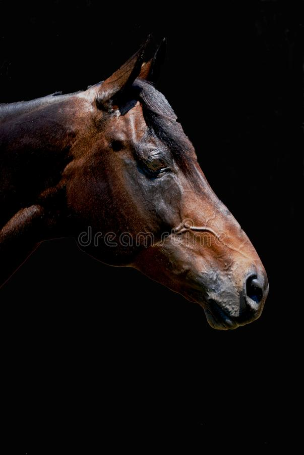 Vollblütiges Pferdeprofil stockbilder
