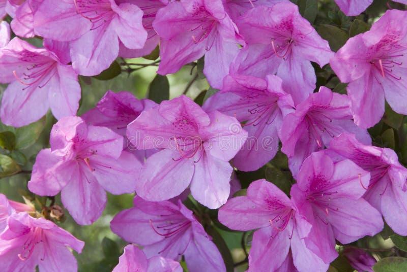 Volle Blüte stockfotos