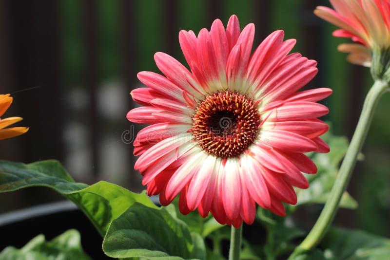 Volle Blüte lizenzfreies stockbild