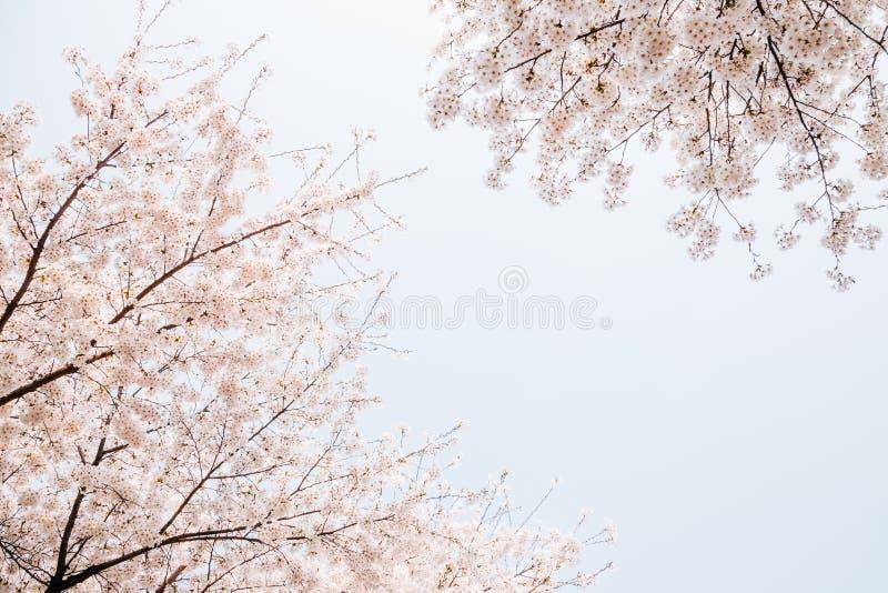 Volle Blüte der Frühlingskirschblüte stockfotografie