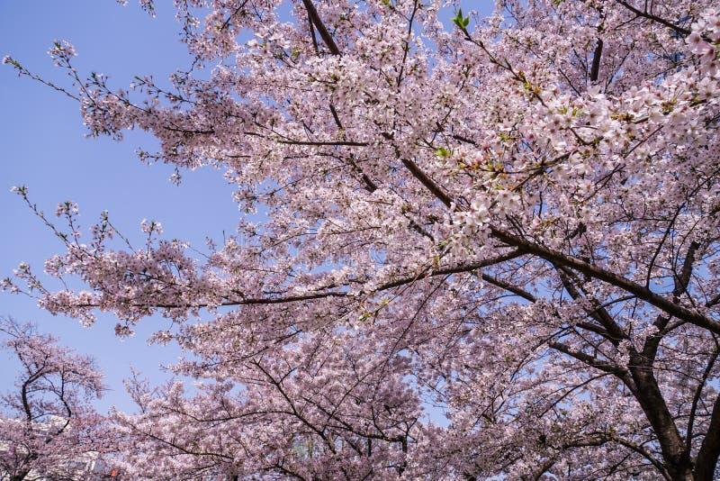 Volle Blüte des Kirschbaums und des Roppongi Hills stockbilder