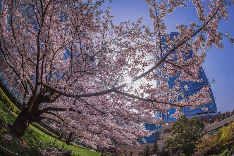 Volle Blüte des Kirschbaums und des Roppongi Hills stockbild