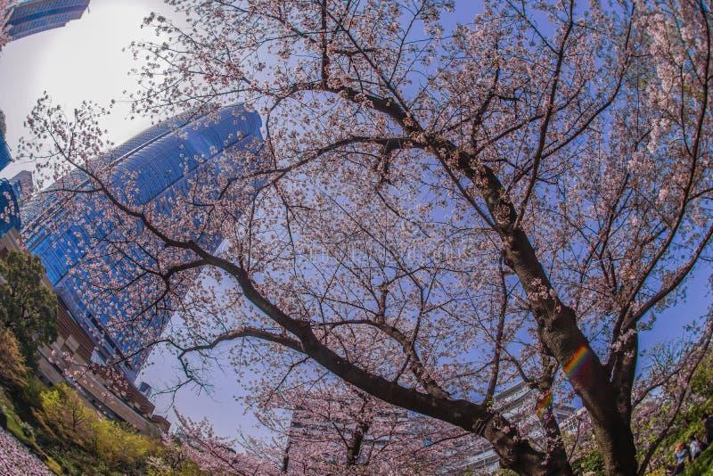 Volle Blüte des Kirschbaums und des Roppongi Hills lizenzfreie stockbilder