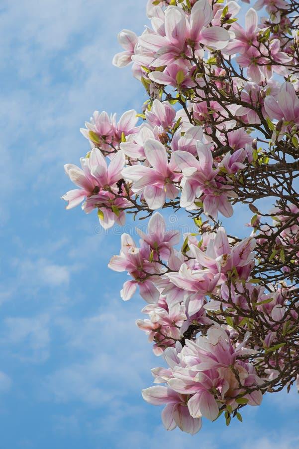Volle Blüte des rosa Magnolienbusches stockbilder