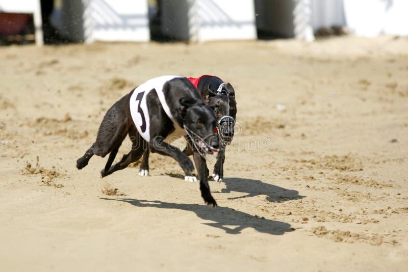 Windhunde Geschwindigkeit