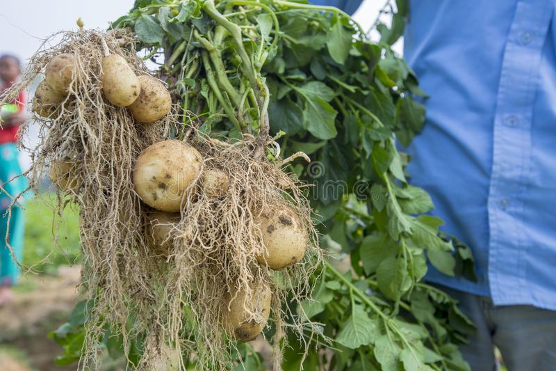 Kartoffeln Mit Wurzeln