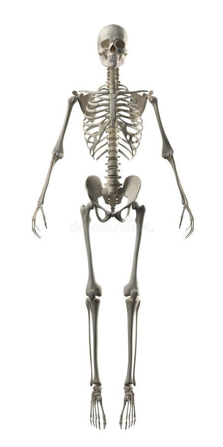 Volledig Frontaal Skelet stock illustratie