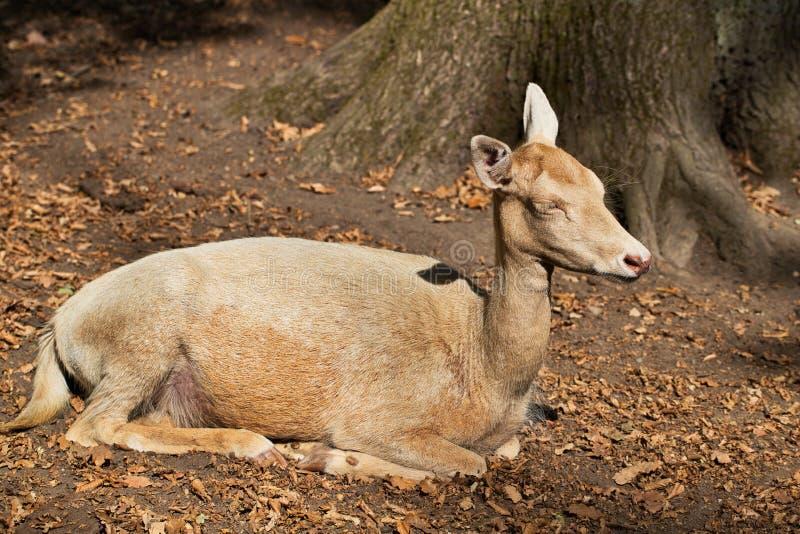 Volledig lichaam van vrouwelijke volwassen dama van damhertendama in het bos royalty-vrije stock fotografie
