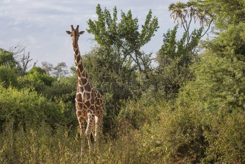 Volledig lichaams frontaal portret van giraf met een netvormig patroon, Giraffa-camelopardalis reticulair, in het noordelijke lan stock foto's