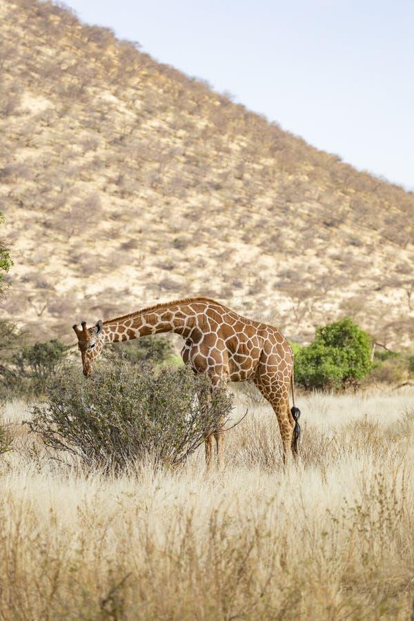 Volledig Lichaamsportret van giraf met een netvormig patroon, Giraffa-camelopardalisreticulata, die bladeren van struik in noorde stock fotografie