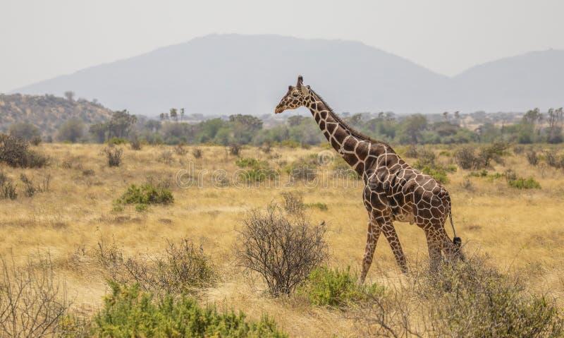 Volledig Lichaamsportret van giraf met een netvormig patroon, Giraffa-camelopardalisreticulata, die in noordelijk de savannelands royalty-vrije stock afbeelding