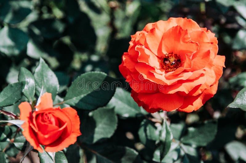 Volledige bloei rode rozen met groene bladerenachtergrond, uitstekende film stock afbeeldingen