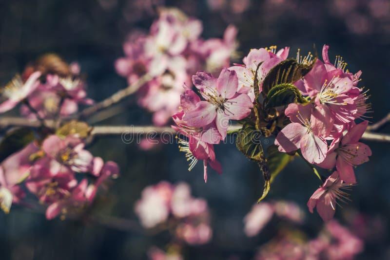 Volledige bloeisakura in Japan, Kersenbloesem, Japanse de Lentebloem royalty-vrije stock foto's