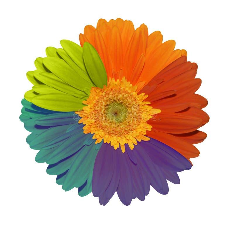 Volledige gekleurde zonnebloem royalty-vrije stock fotografie