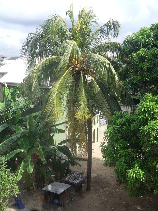 Volledige Gekweekte Kokospalm royalty-vrije stock afbeelding