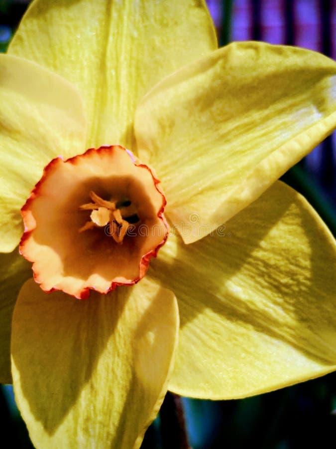 Volledige kader gele bloem op de lentemiddag royalty-vrije stock foto's