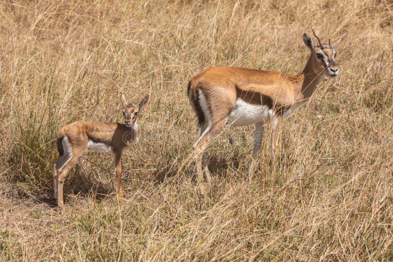 Volledige lichaamsportretten van de gazelle van Thomson, gazellethomsoni, moeder en jong kalf in lang gras royalty-vrije stock foto