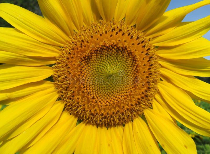 In voller Blüte im Juli stockbild