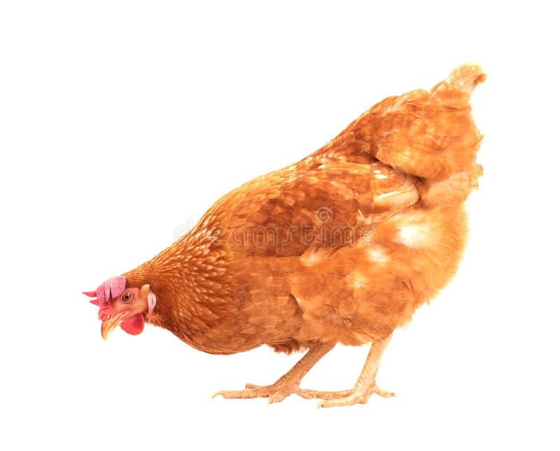 Voller Körper der braunen Hühnerhennenstellung lokalisierte weißes backgroun stockfotos