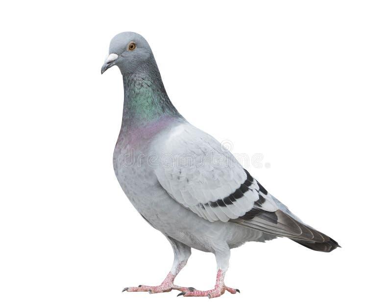 Voller Körper des Porträts der grauen Farbe von Geschwindigkeitsbrieftaube-Vogel-ISO lizenzfreies stockbild