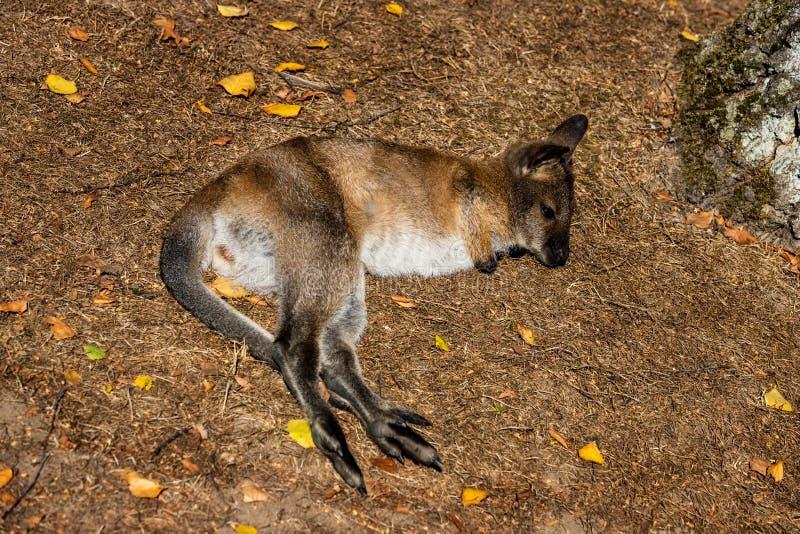 Voller Körper von entspannen sich Lügenjoey jungen Känguru auf der Wiese stockfotografie