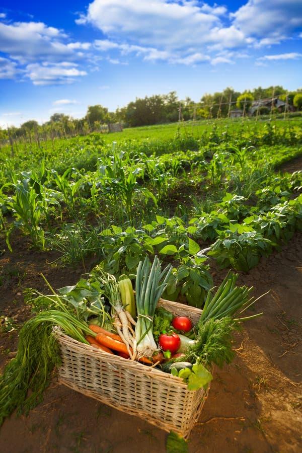 Voller Korb mit Gemüse im Garten stockfoto