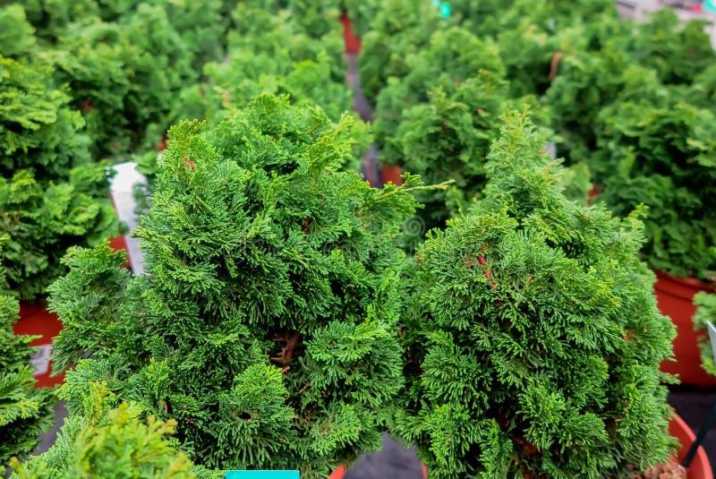 Voller Rahmen in der Nähe der Gruppe grüne gefälschte Zypressen Bäume chamaecyparis obtusa nana gracilis in Blumentöpfen in deuts stockfotografie