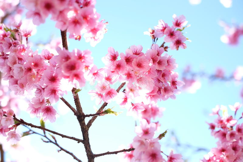 Volles Blühen der Kirschblüte- oder Kirschblütenblumen lizenzfreie stockfotografie