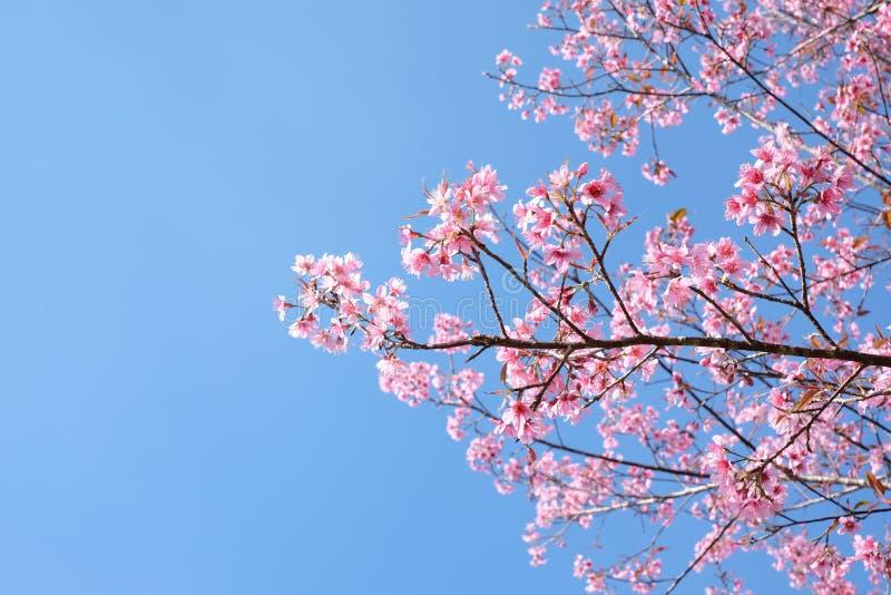 Volles Blühen der Kirschblüte- oder Kirschblütenblumen lizenzfreies stockbild