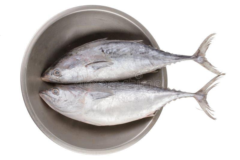 Volles Körperfoto des toten ganzen frischen rohen Thunfischs der Fregatte zwei stockfotos