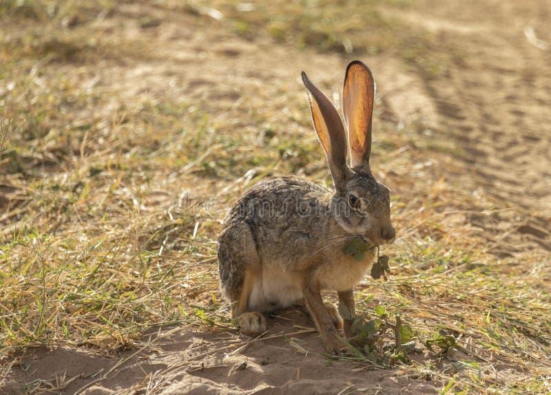 Volles Körperporträt von afrikanischen Hasen, Lepuscapensis, wenn die hintergrundbeleuchteten großen Ohren essen Blatt beim Sitze stockbild