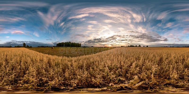 Volles nahtloses kugelförmiges hdri Panorama 360 Grad Winkelsicht unter Haferfeldern im Sommerabendsonnenuntergang mit schönen Wo stockfoto