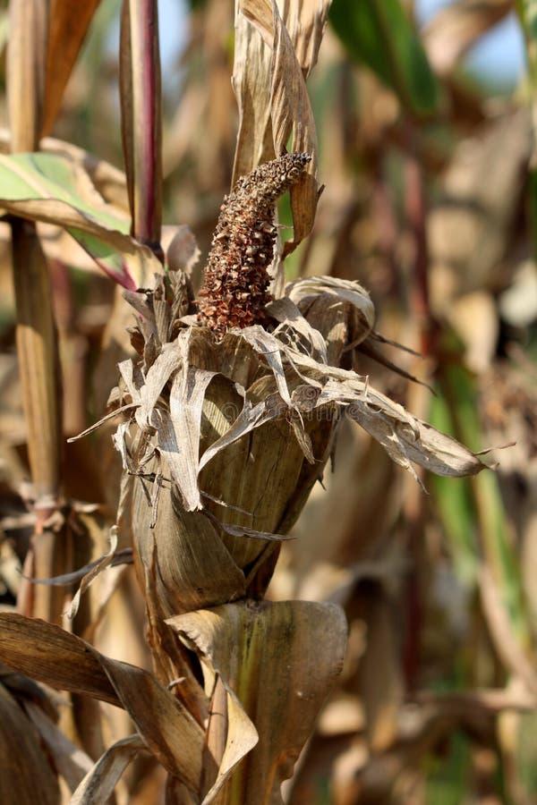 Vollständig reifer und getrockneter Mais verließ auf dem Pfeiler auf dem lokalen Gebiet nach Ernte am warmen sonnigen Tag lizenzfreie stockfotos