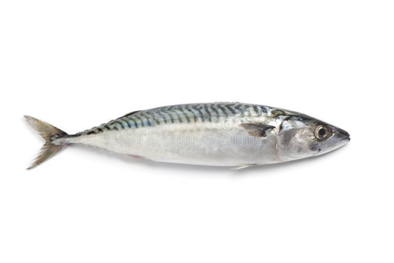 Vollständige einzelne frische Makrele lizenzfreies stockfoto