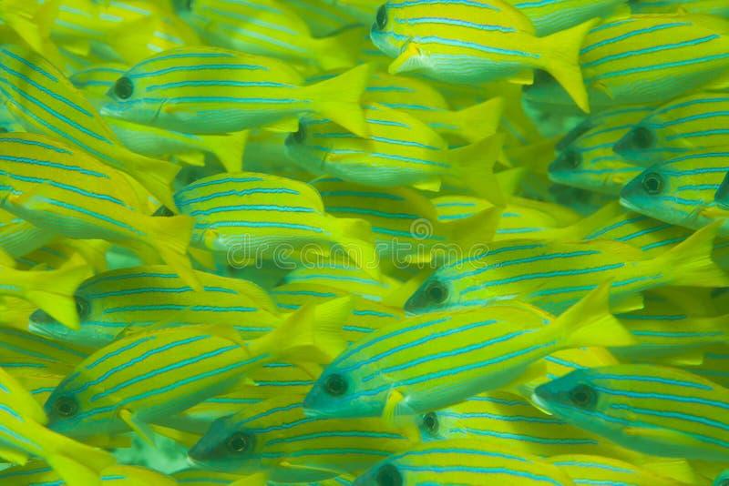 Vollständiges Feld der Masse der Bluestripe Rotbarschfische stockfotos