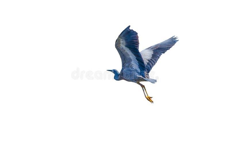 Volo affrontato bianco dell'uccello dell'airone isolato su fondo bianco immagine stock